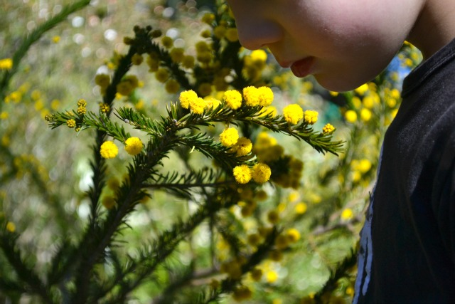 Wattle is here. Spring is here
