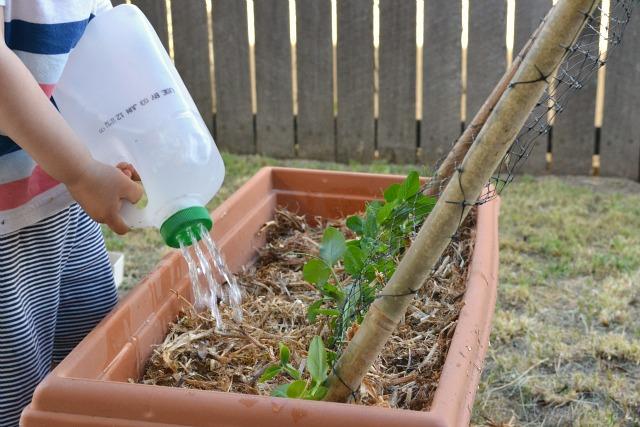 Otis watering peas