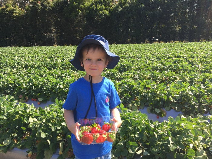 Otis strawberry picking at How we Montessori