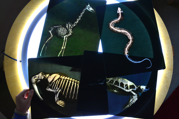 Animal Skeletons on the light table at How we Montessori