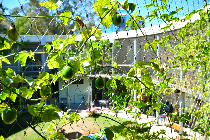 MIC at How we Montessori - the green wall producing passion fruit