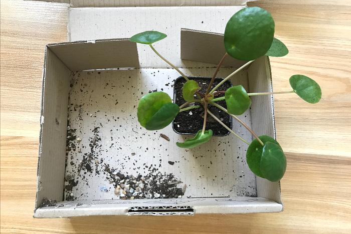 Pilea peperomioides Australia
