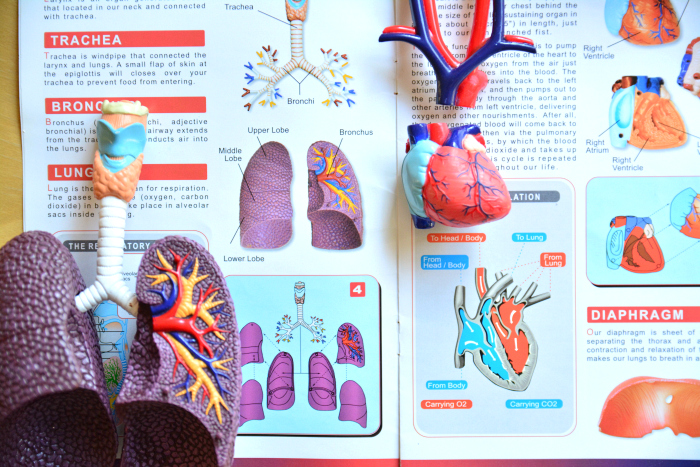 Love Anatomy Models  Lung and Heart at HWM