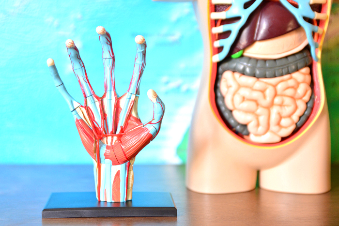 Loving anatomy models at HOw we Montessori  hand