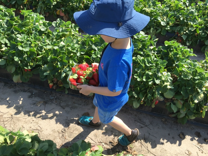 Otis strawberry picking at HWM