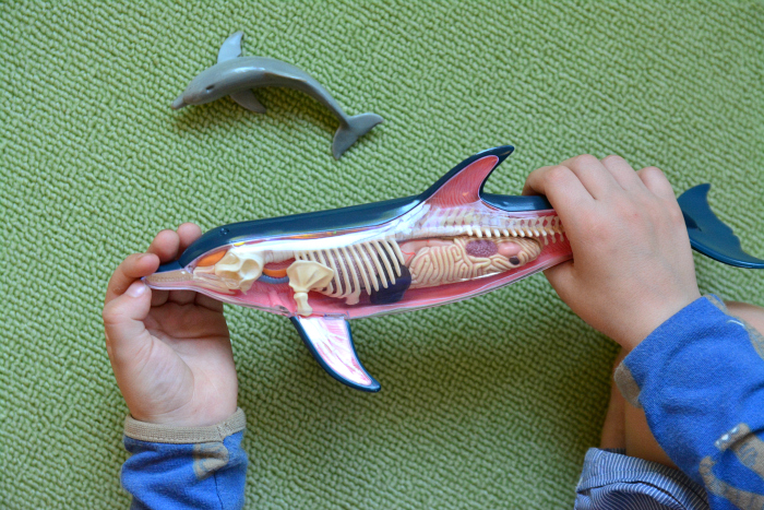 Otis Anatomy of a Dolphin Mammal at How we Montessori