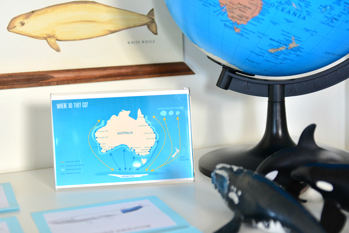 Whale Migratory Patterns Australia at How we Montessori