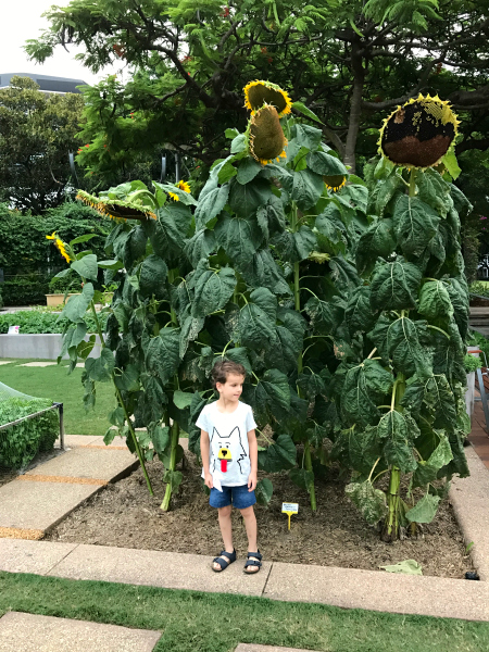 Giant Sunflowers at South Bank