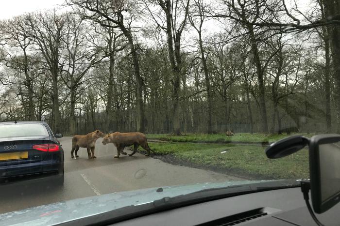 Rhesus monkey  drive through safari HWM
