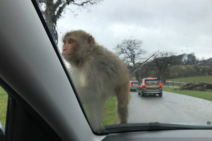 Rhesus monkey  drive through safari HWM