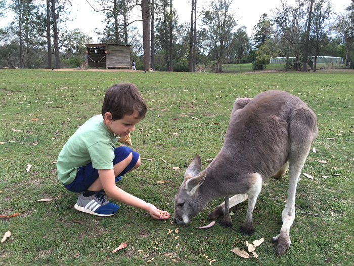 Otis feeding kangaroos afterschool at How we Montessori