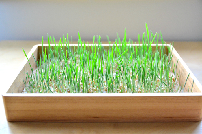 Otis' green grass - grown from seed and water beads