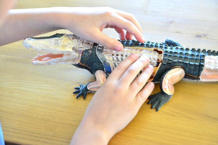 Otis finishing his crocodile anatomy model at How we Montessori