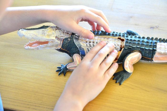 Otis finishing his crocodile anatomy model at How we Montessori