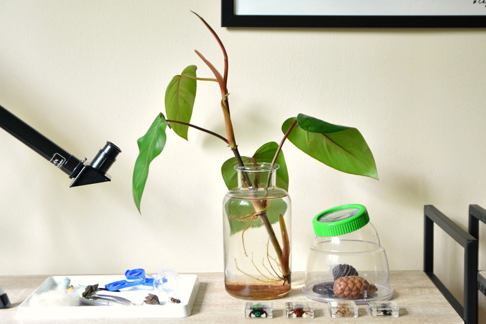 Philodendron in old jar at How we Montessori science shelves