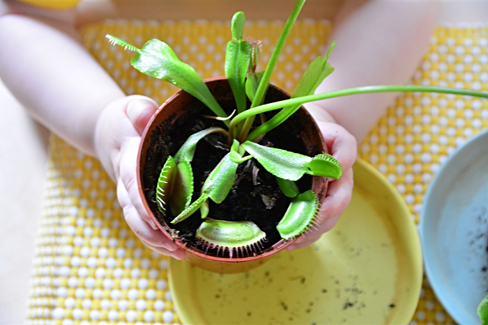 Otto with venus fly trap in winter at How we Montessori