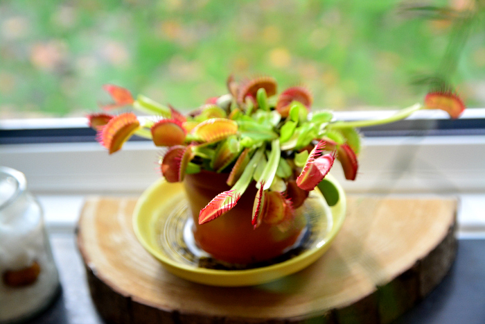 Venus fly trap at How we Montessori