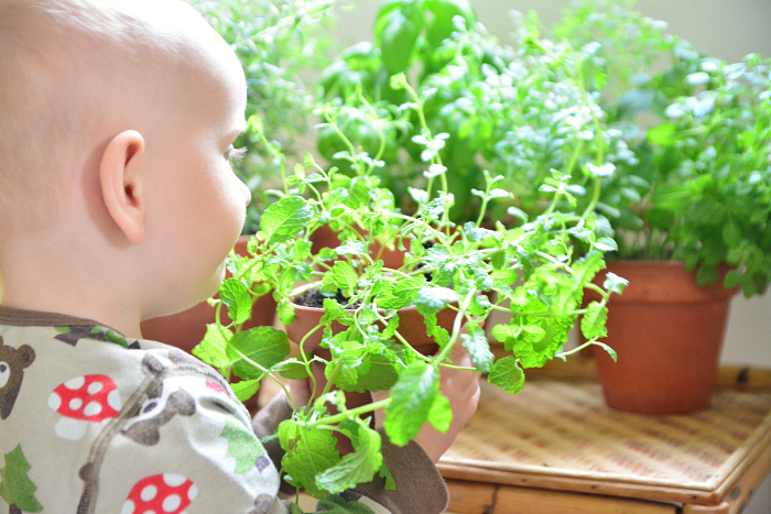 Montessori home herb garden  Otto smelling mint