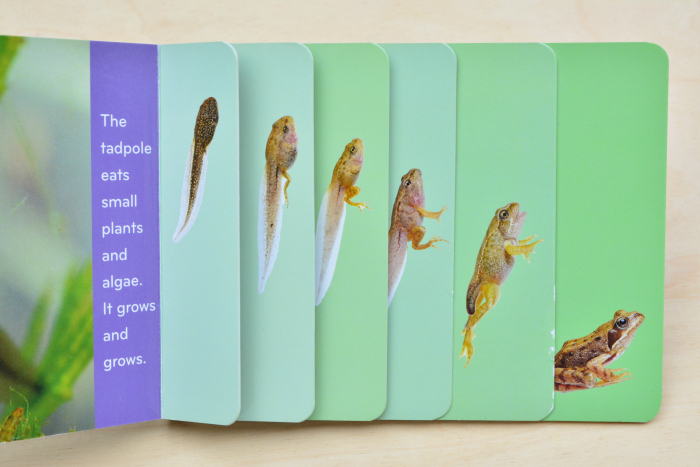 Tadpole to Frog board book at How we Montessori