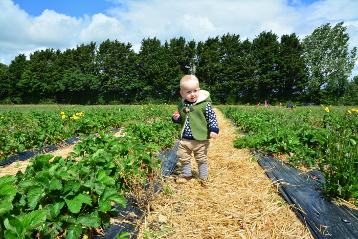 Otto strawberry picking June 2019 20 months