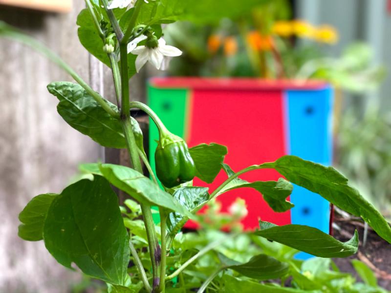 Otto's sweet mini capsicum at how we montessori