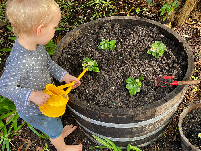 Montessori toddler gardening at two years watering strawberries at How we Montessori Otto at two years small watering can