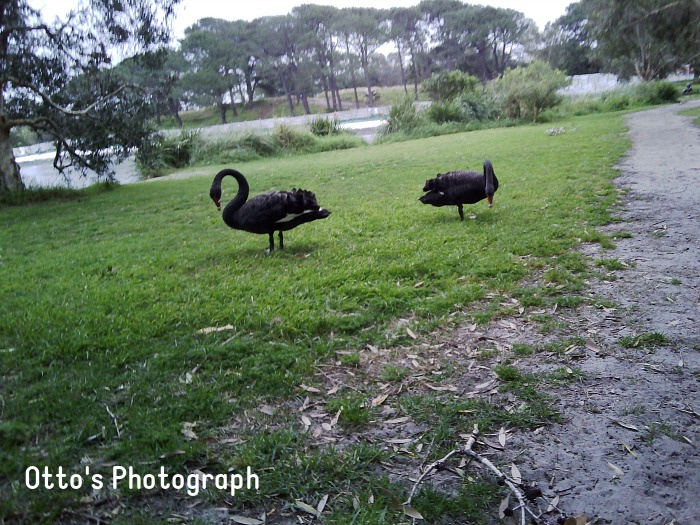 Otto's photograph of swans at How we Montessori using kids camera Sydney (2)
