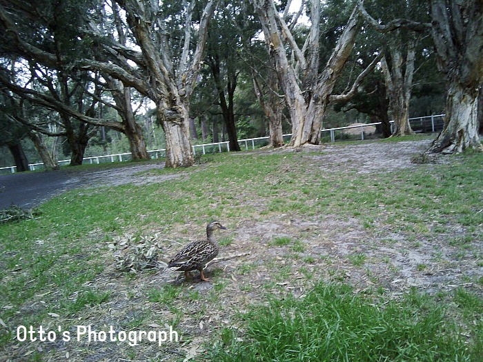 Otto's photo of a duck at three years using kid camera at How we Montessori (2)