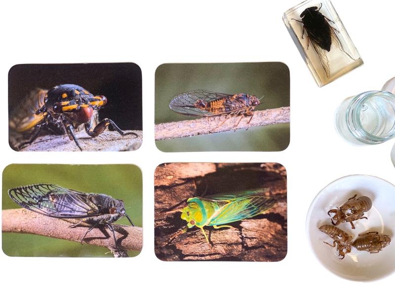 Cicada photographic images and specimens (2)