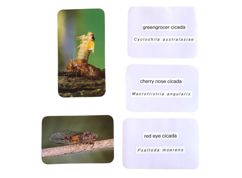 Cicada cards at how we montessori (1)