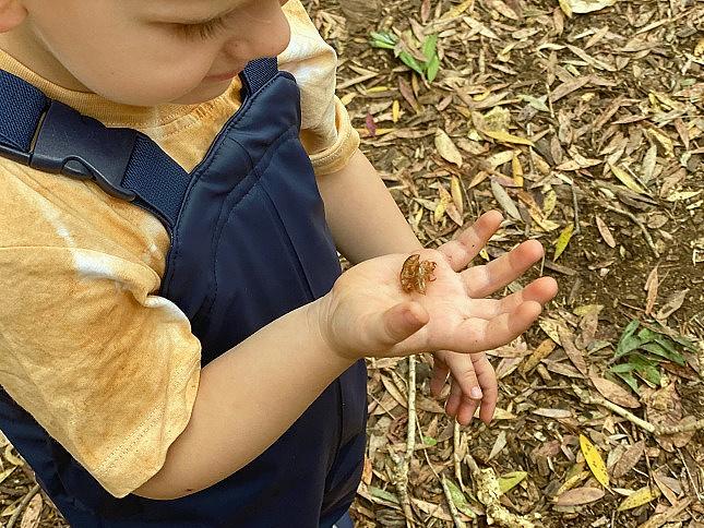 Cicada shells at How we Montessori Sydney (1)